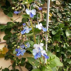 Floração da minha Borboleteira Azul. Linda demais!!!!! Agosto/2016