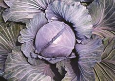 Feature of the week: Super Red 115 F1. A true storage red cabbage with a nice, round head, attractive color, and fancy wrapper leaves. It provides very strong vigor, good yield, and good storage ability.