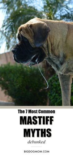 With great size comes misinformation and profuse slobber. Learn why the Mastiff is not a breed for the average dog owner with the truth behind these 7 myths. Mastiff / Mastiff Dogs / Mastiff Puppies / English Mastiff / Giant Breed Dogs via Giant Dog Breeds, Giant Dogs, Large Dog Breeds, Big Dogs, Large Dogs, Bull Mastiff Puppies, English Mastiff Puppies, Mastiff Breeds, English Mastiffs