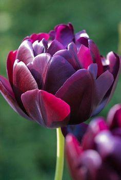 チューリップ'ブラックヒーロ' Tulip Black Hero--photography by Heather Edwards