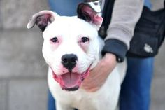 Manhattan Center **NEW PHOTO AND THREAD!**My name is JORDON. My Animal ID # is A893540. I am a male white and black pit bull mix. The shelter thinks I am about 8 months old. *******UPDATE*********7/19/11 Lefty needs a new home. 11 or 12 month old pit mix pup. rescued of the NYCACC ki...ll list. love him to death but my other 2 dogs do not accept him. Please help me fimd him a new home. He's a really cool dog. For mor info contact Jerilyn Piccirelli-Maloney or Dennis MaloneySee More