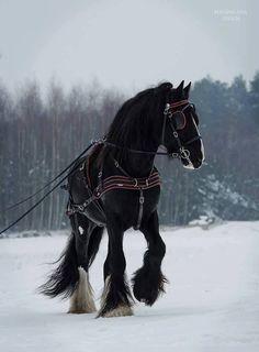 shire stallion                                                                                                                                                      More