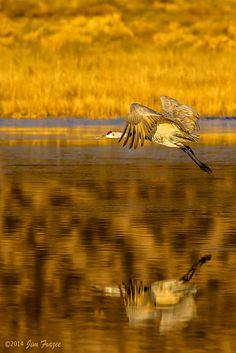 "A Sandhill Crane:  ""Time For Reflection ~ As The Sun Rises...""   (Photo By: © Jim Frazee 2014.  Taken On A Morning At Bosque County, Texas, USA.)"