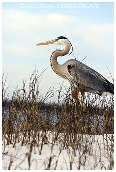 Great Blue Heron in Pensacola, Florida