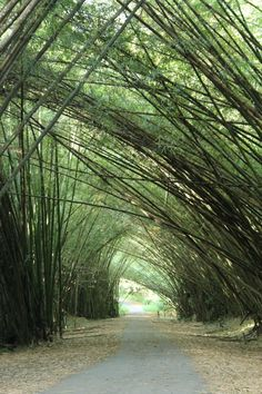 One of my favourite places to run at home. Bamboo Cathedral, Chaguaramas, Trinidad