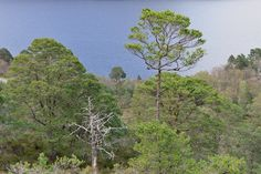 Remnants of ancient Caledonian pinewood are the very essence of Beinn Eighe