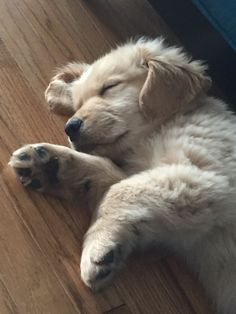 Golden Retriever Puppy. Cappy ❤️