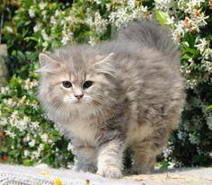 Siberian Cat. blue golden