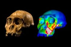 Unibo: i primi antenati delluomo non avevano mascellari da  Nutcracker