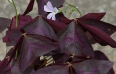 """Purple Shamrock Plants or Black Oxalis: The black <i>Oxalis</i> plant in this picture shows what """"Velvet"""" looks like. It's part of the Charmed Series of shamrocks."""