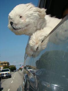 Maltese dog in the car -- Curated by Noah's Ark Mobile Veterinarian Service | 784 Raymer Rd, Kelowna BC V1X1A2 | (250) 212-5069