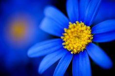 Blue Gerbera - I really like these :-)