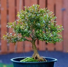 The upright styles in bonsai are one of the most popular and easy styles for beginners. Learn all about the two main upright styles in bonsai growing. Garden Design, Plants, Indoor Garden, Bonsai Tree, Bonzai Tree, Terrarium Plants, Small Trees, Garden Plants, Miniature Trees