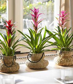 Este elogio tropical tiene un efecto contagioso sobre todo su ambiente. Lo que más llama la atención en la Guzmania son las brácteas de colores brillantes que crecen de una roseta bonita y forman juntas un embudo, aunque otras formas sean también posibles.