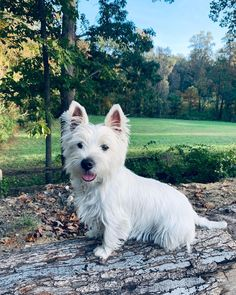 Pet Dogs, Pets, West Highland White, White Terrier, Westies, Terriers, Dog Stuff, Dog Breeds, Cute Animals