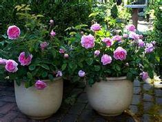 Rose Gardening in Containers