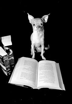 library chihuahua..because I love to personify him!