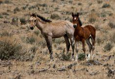 Unbelievably precious wild mustang foals!