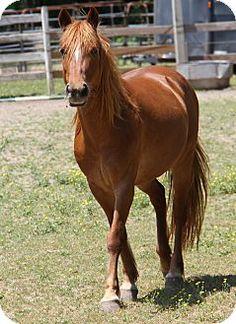 Stewart, TN - Arabian. Meet Hidee, a pet for adoption. http://www.adoptapet.com/pet/12712611-stewart-tennessee-horse