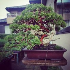 真柏 Juniperus chinensis #bonsai #japan #盆栽