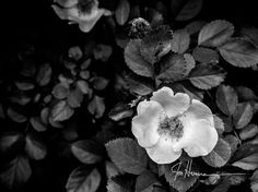 Hey, I found this really awesome Etsy listing at http://www.etsy.com/listing/102238254/old-rose-8x10-fine-art-photograph