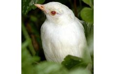 This albino blackbird chick at Commonmoor near Liskeard in Cornwall clearly shows the red eyes often associated with albinism due to a lack of pigment in the eyes