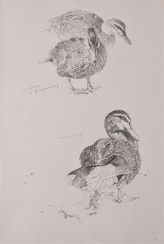 Black Duck (A. Superciliosa) - graphite on paper