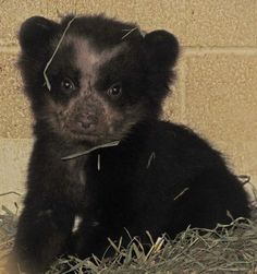 Baby Spectacled Bear cute