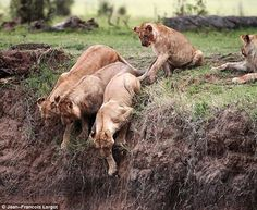 Other Lions saw it, too. They Investigated, But Didn't Help...