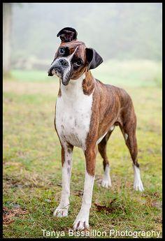 www.photographybytanya.com Pet Photography, dog, dogs, boxers, boxer, boxer dog, fog, foggy, foggy morning, cool dog, love boxers