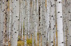 Aspen Trees. I would love to go to Colorado right now.