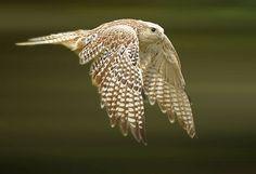 Faucon gerfaut - Gyrfalcon - Halcón Gerifalte - Girfalco - Gerfalke ( Falco rusticolus ) by Ronald Coulter on 500px
