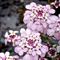 """Iberis """"Pink Ice"""" : Foliage topped with large, flat clusters of blooms Commonly known as candytuft, these dwarf, shrubby perennials, produce mounds of evergreen, narrow, green foliage topped with large, flat clusters of blooms up to 7.5cm (3) across. They are fully hardy and show good drought tolerance too. Height 30cm (12). Flowers May-September. Supplied in a 9cm pot. Pink Ice - Salmon-pink with dark pink centres. (EG April 2013)"""