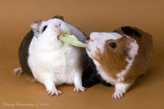 """Mine!"" guinea pigs"