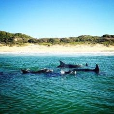 Sometimes you can spot dolphins in Plettenberg Bay. Photo from McCulley Visit South Africa, Bay Photo, Dolphins, Whale, Tourism, African, Photo And Video, Animals, Instagram
