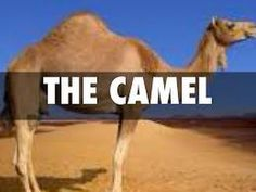 Adaptations of the Camels ( desert animals) -For Kids - YouTube