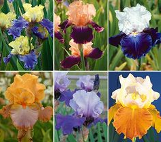 Two-tone Bearded Iris CollectionFall Shipped