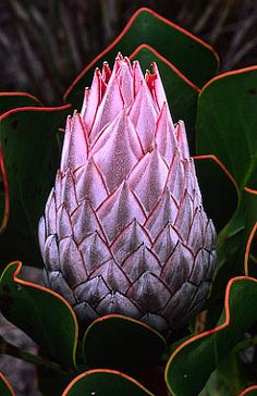 BelAfrique your personal travel planner - www. Unusual Flowers, Unusual Plants, Rare Flowers, Exotic Plants, Amazing Flowers, Beautiful Flowers, Flor Protea, Protea Plant, Protea Flower