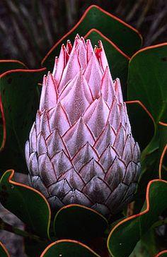 Protea [Family: Proteaceae]