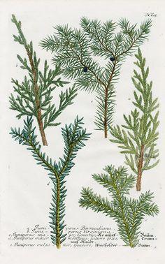 Juniper, Juniperus virginiana from Johann Weinmann Antique Prints Protea and Cactus 1745