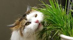 Cat Friendly Flowers and Plants to Keep Your Cat Safe - Bone & Yarn Houseplants Safe For Cats, Cat Safe Plants, Cat Plants, House Plants, Cat Eating Grass, Cat Grass, Grass For Cats, Pasto Natural, Cat Throwing Up