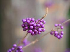 Sono davvero fuori dal comune le bacche violacee della Callicarpa #piante #giardino #inverno #winter #garden #purple #berries
