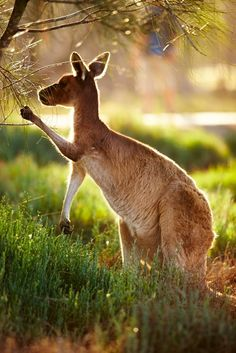 Kangaroo just outside of Perth Western Australia.