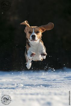 Beagle leaping through the snow