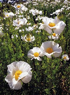 SUBFAMILY PAPAVEROIDEAE has 9 genera --ARCTOMECON Desert Poppy,CANBYA Pigmy Poppy, STYLOMECON Wind Poppy, ROMNEYA   Calif. Tree Poppy,ARGEMONE Prickly Poppy, CATHCARTIA Woodland Poppy, ROEMERIA Longfruited Poppy and the better known. MECONOPSIS ( Blue Poppy) and PAPAVER (True Poppy----the largest group of species)