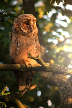 Photograph Northern Long Eared Owl by Katrin Riege on 500px
