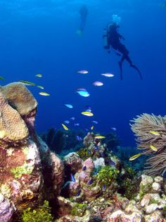 Scuba diving at Roatan, Honduras  Has part of the second largest coral reef in the world