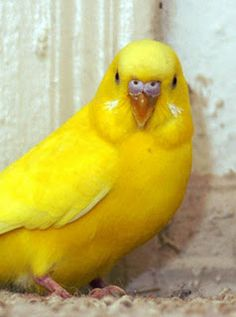 Yellow budgie <3