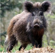 Дива свиня / Wild Boar - Scruffy Swine Also known as the Wild Pig Animals And Pets, Cute Animals, Wild Animals, Pig Breeds, Animal Kingdom, Mammals, Animal Pictures, Wildlife, Piglets