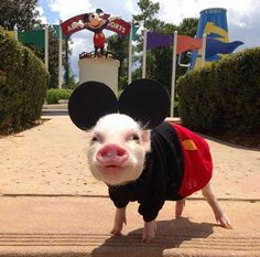 OMGoodness, mini piggy  goes to to Disney!